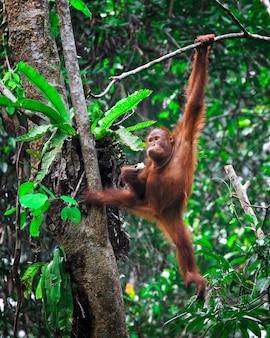 熱帯雨林のオランウータンは木に掛かる
