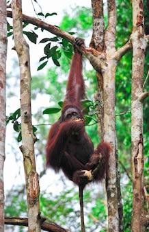 熱帯雨林のオランウータンフ