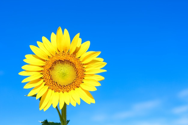 Крупным планом красивый подсолнух над красивым голубым небом