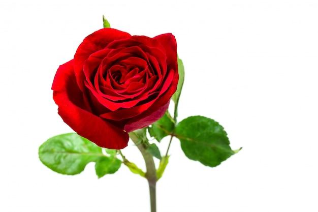 Одиночный простой красной розы, концепция дня валентинки