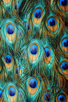 カラフルな孔雀の羽