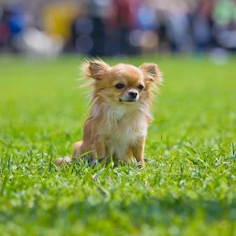 公園のチワワ犬