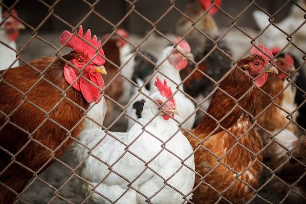 フェンスの後ろの鶏