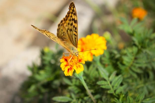 Бабочка аргиннис пафии на цветке