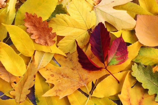 黄色と赤の葉。秋。