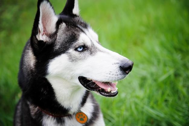 公園を歩いている犬ハスキー