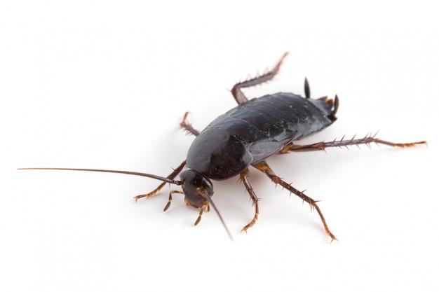 分離された東部ゴキブリ