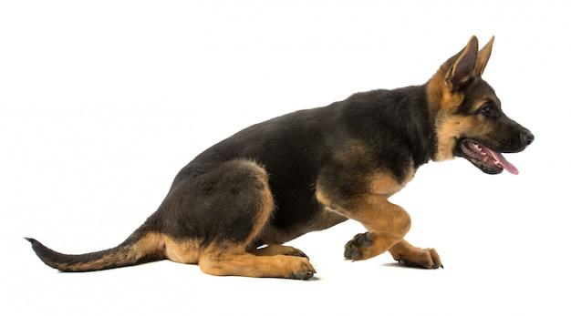 子犬ジャーマンシェパードが立ち上がって