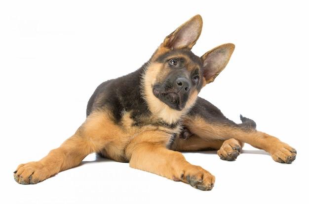 横たわっている子犬ジャーマンシェパード