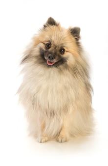 分離されたポメラニアン犬