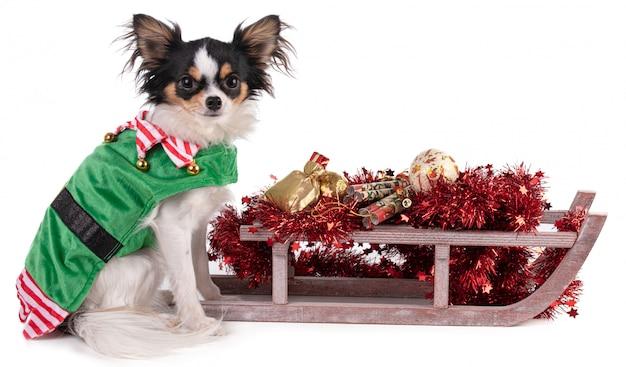 Чихуахуа сидит в одежде гоблина с санками для рождества