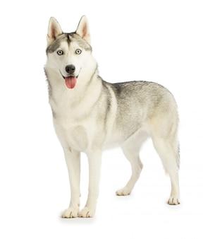黒と白のシベリアンハスキー犬