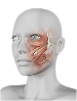 Трехмерное женское лицо с мышцами щек