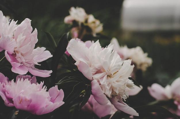 牡丹の花、温かみのある色調、美しいライラック色の花