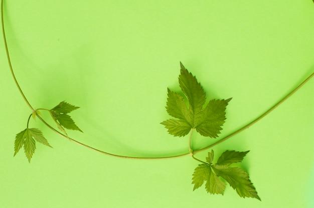 緑の野生ブドウのつる