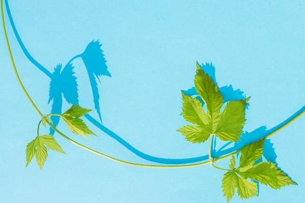 Дикая виноградная лоза на синем
