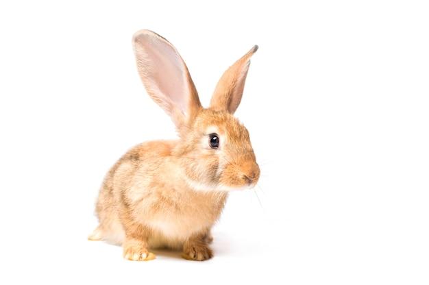 若いウサギを白い背景に分離します。