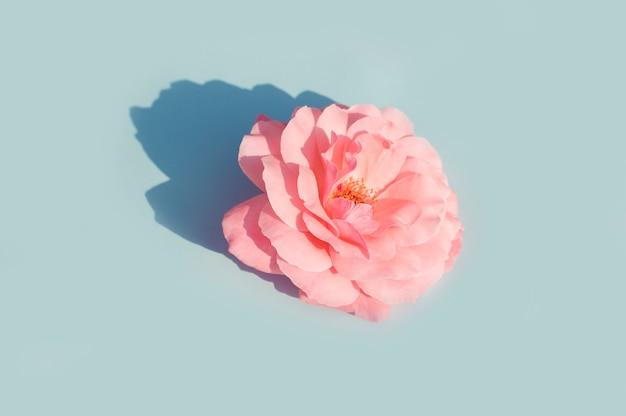 Розовая роза на синем