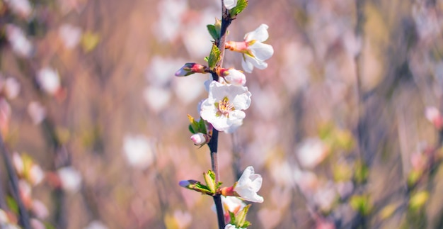 アプリコットの花、ハート形のぼかしボケ