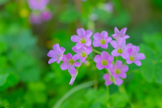 Малая красота розовые фиолетовые цветы с зелеными листьями природы. растение, цветок и природные концепции.