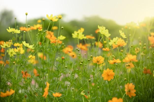 日光の下で緑の葉と美しいオレンジと黄色のコスモスの花のクローズアップ。