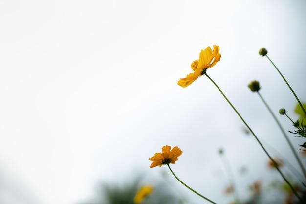 緑の葉と日光の下で空と美しいオレンジと黄色のコスモスの花のクローズアップ