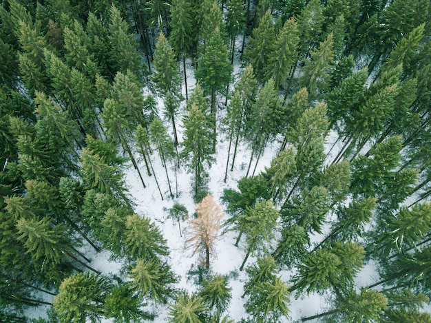 冬の間に森の中の孤立したツリー