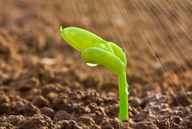 地面に雨の下で小さな芽