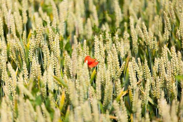 Маки в поле пшеницы