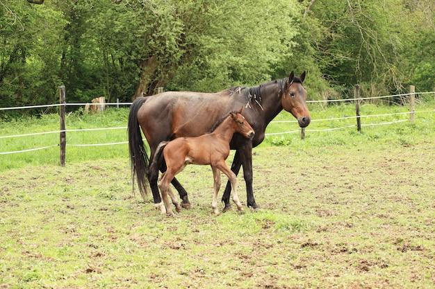 Молодой жеребенок с матерью в поле весной
