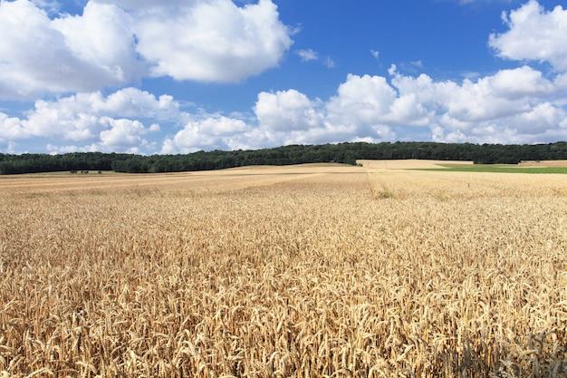 収穫前の夏の太陽の下で麦畑