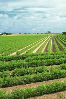 ノルマンディーの畑で砂の中のニンジンの栽培