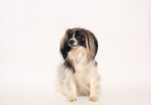 パピヨン犬のクローズアップの肖像画