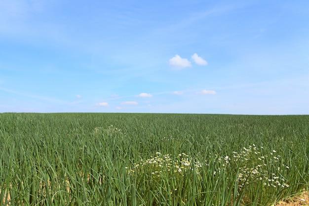 太陽の下で夏のタマネギ畑