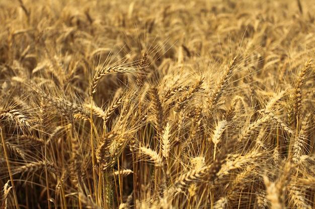 Пшеничные поля летом