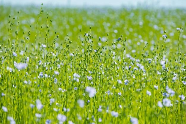 Большое поле льна в цвету весной