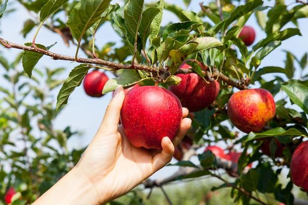 Женская рука собирает яблоко