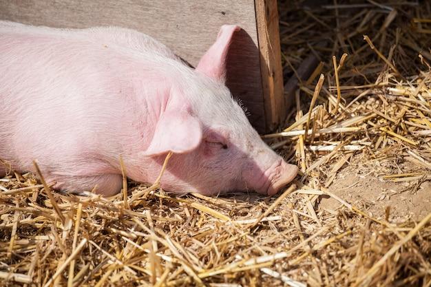 小さなピンクの豚