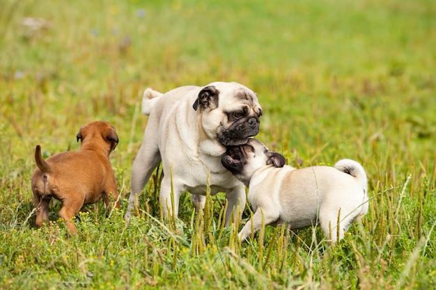 Милый ублюдок малинуа щенок и бульмастиф играют со щенком мопса