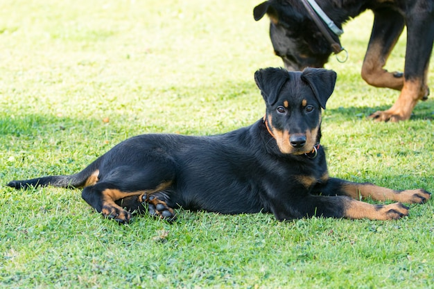 Очаровательная молодая собачка-щенок внимательна и лежит в зеленой траве