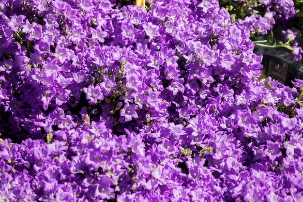 フラワーマーケットに青いカンパニュラ花