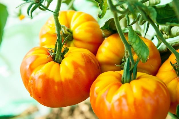 温室の有機トマト