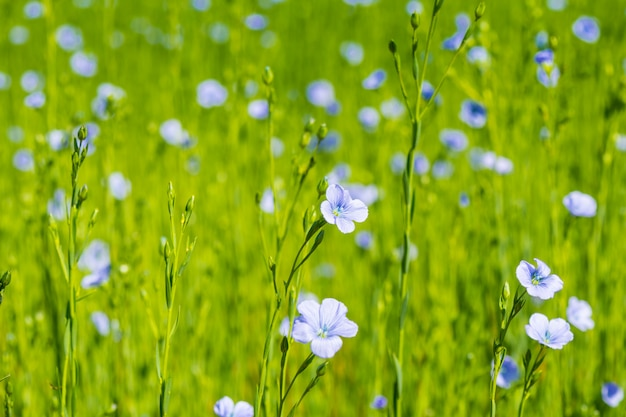 春の浅い被写し界深度で青い亜麻フィールドのクローズアップ