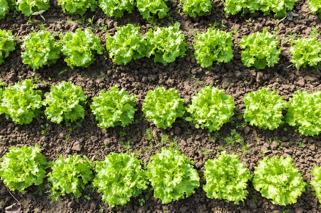 温室の有機サラダの文化