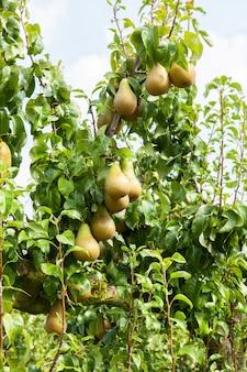 ナシの木が太陽の下で果樹園で果物を積んだ