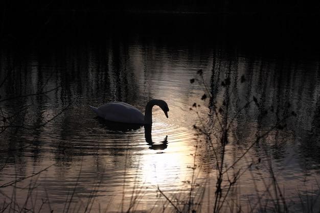 フランスのその湖で野生の白鳥のミュート。