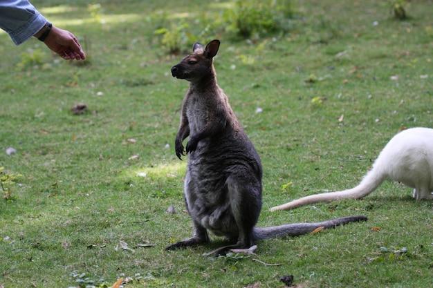 Беннетт уоллаби, кенгуру в зоопарке во франции