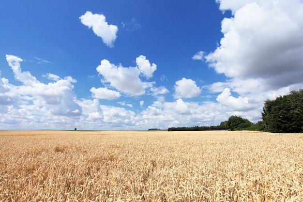 Пшеничные поля под солнцем летом до сбора урожая