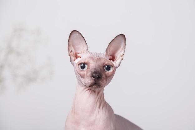 裸の猫はカナダのスフィンクスに座って繁殖します。朝の春の気分