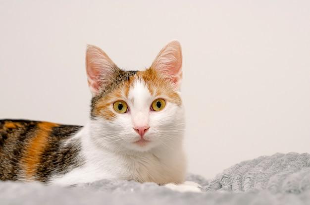 На кровати лежит трехцветная кошка, серый плед.